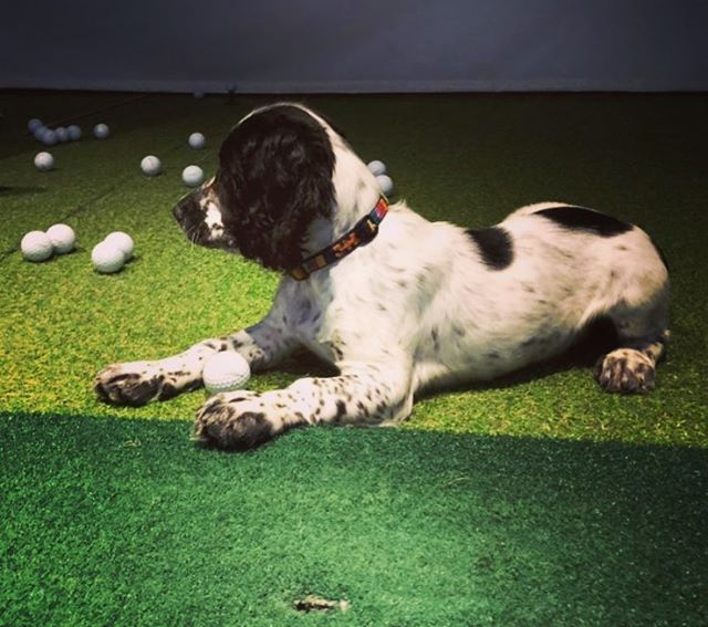 Scruffy | St Andrews Golf Academy
